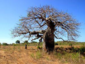Дерево без тени