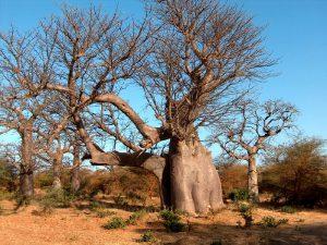 Дерево саванны