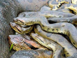 Детеныши анаконды
