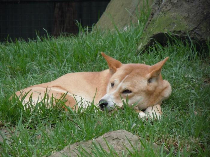 Динго в траве