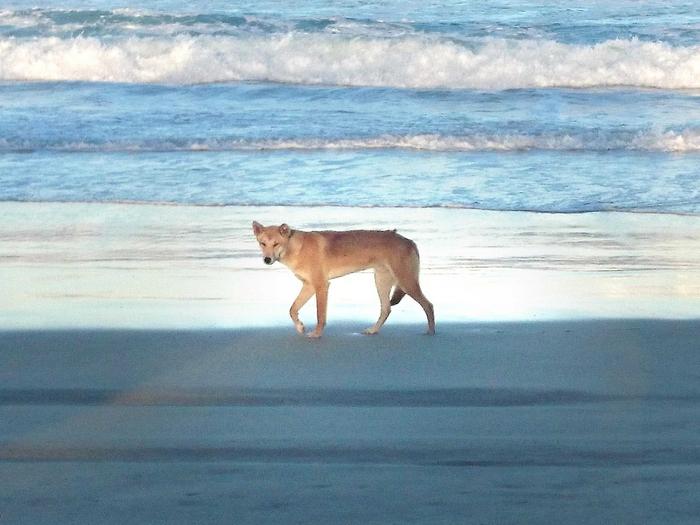 Динго на пляже