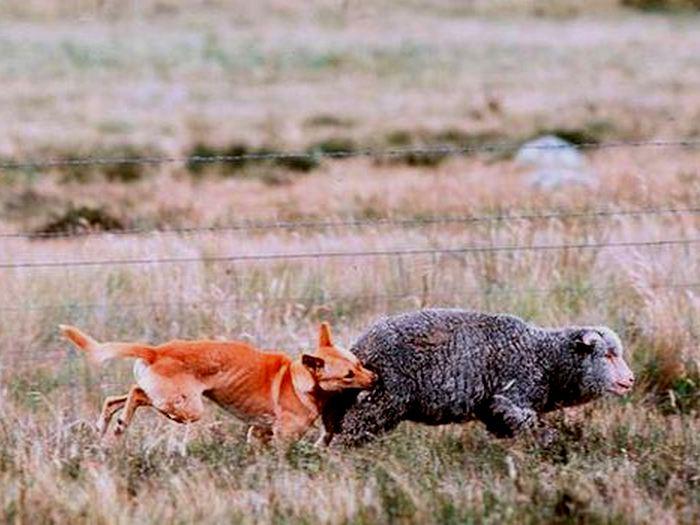 Динго на охоте