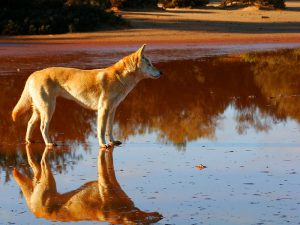 Австралийский Тинго — по русски Динго