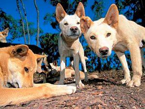 Собака Динго фото