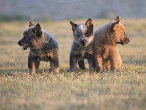 Три щенка динго