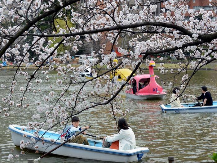 Дни цветения сакуры