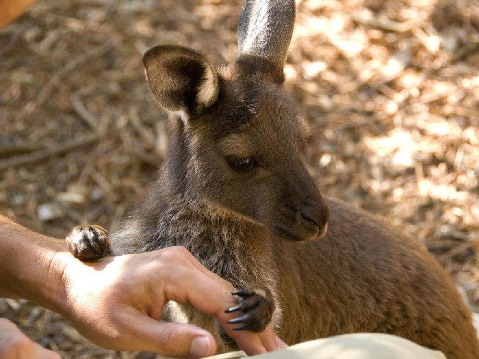 Доверчивые кенгуру