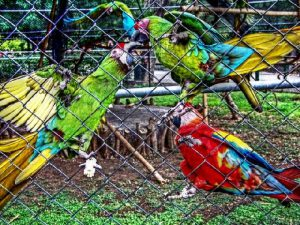 Драки попугаев