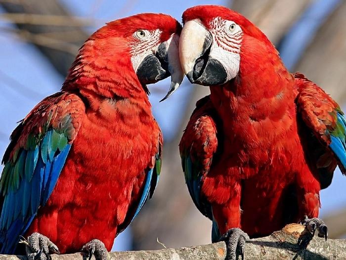 Два красных Ара