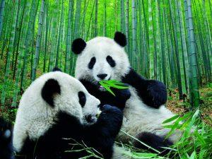 Бамбуковый обед