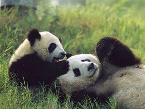 Маленькая панда с мамой-пандой