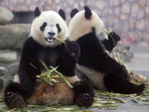 Любители бамбука