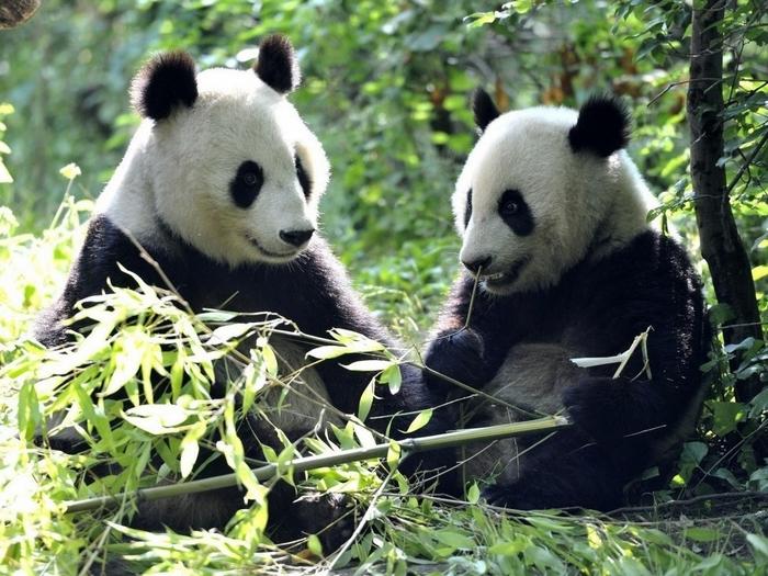 Две взрослые панды