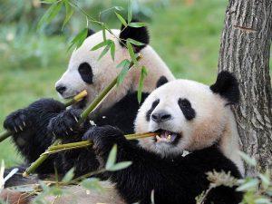 Две панды жующие бамбук