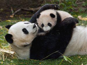Мама-панда с сыночком