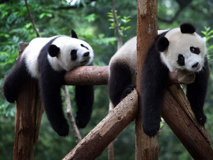 Отдых панд
