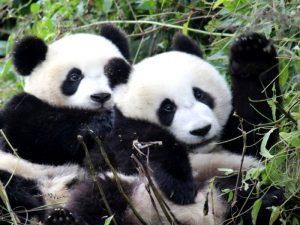 Две панды в траве