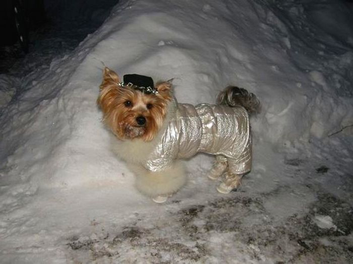 Снег не помеха прогулке йорка