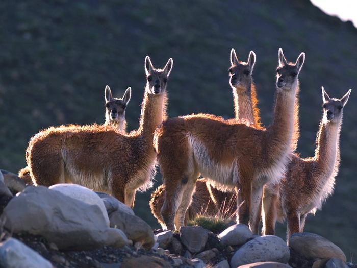 Гуанако в Андах