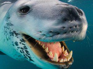 Зубы морского леопарда