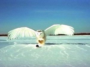 Охота белой совы