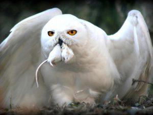 Белая хищница севера
