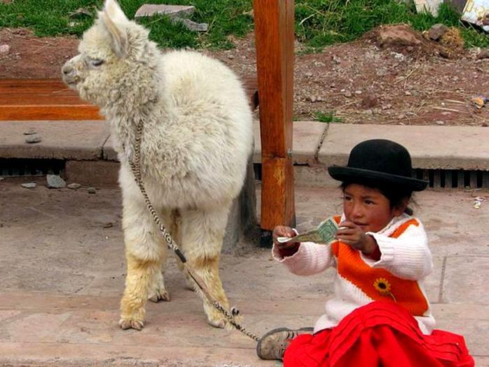 Лама в Перу