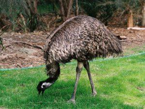 Бывший страус