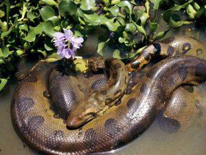 Самка анаконды