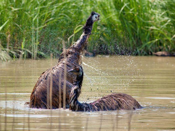 Эму купается
