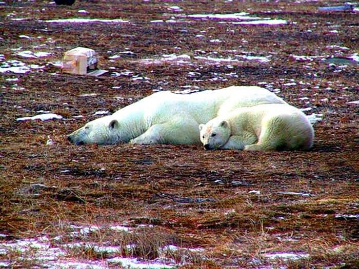 Белые медведи летом