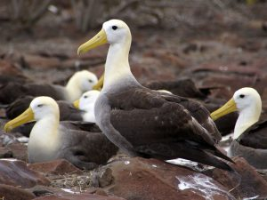 Галапагосский альбатрос