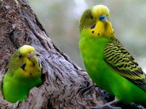 Самка попугая в гнезде
