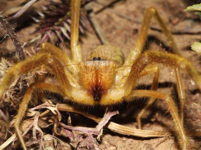 Galeodes araneoides