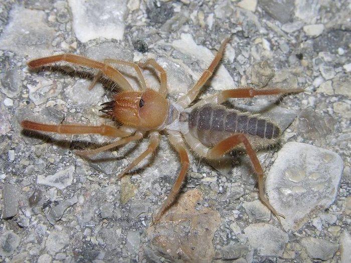 Паук-Фаланга-Описание-и-повадки-фаланги-насекомого-4