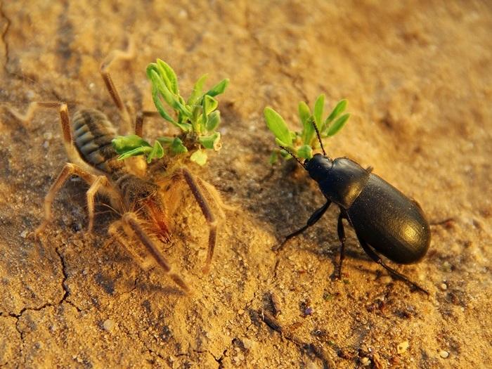 Фаланга и навозный жук