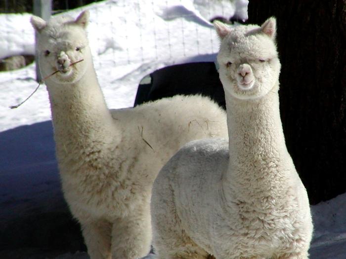 Далекий родственник верблюда