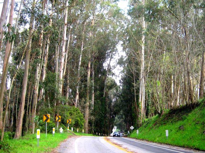 Дорога в эвкалиптовом лесу