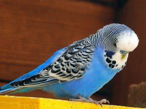 Голубой волнистый