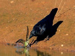 Ворона враг