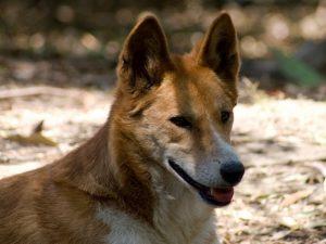 Динго (лат. Canis lupus dingo)
