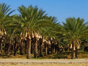 Разновидности финиковой пальмы