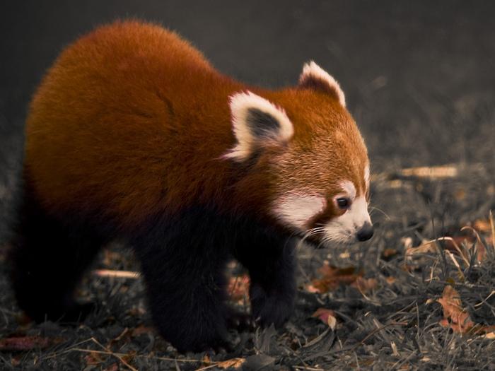 Малая панда на земле