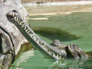 Не агрессивный крокодил