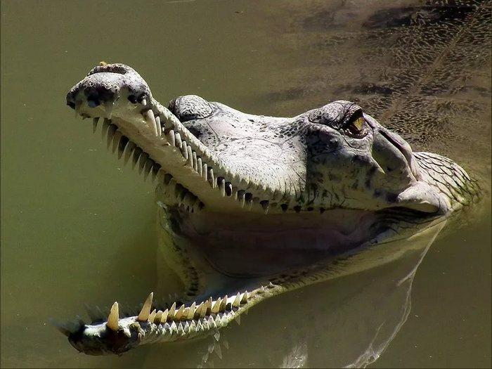 Редкий вид крокодилов