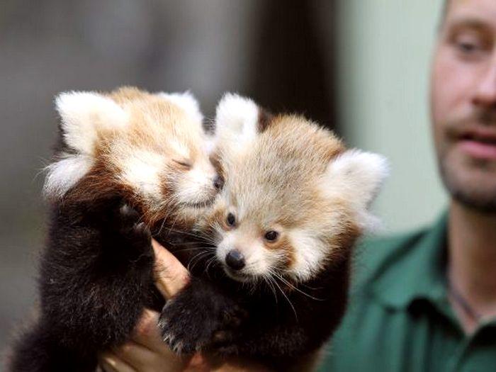 Малыши красной панды