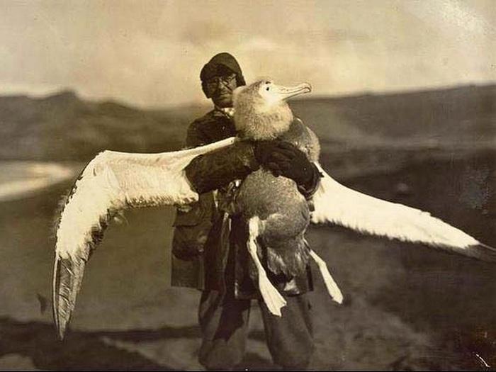 Гигантский альбатрос