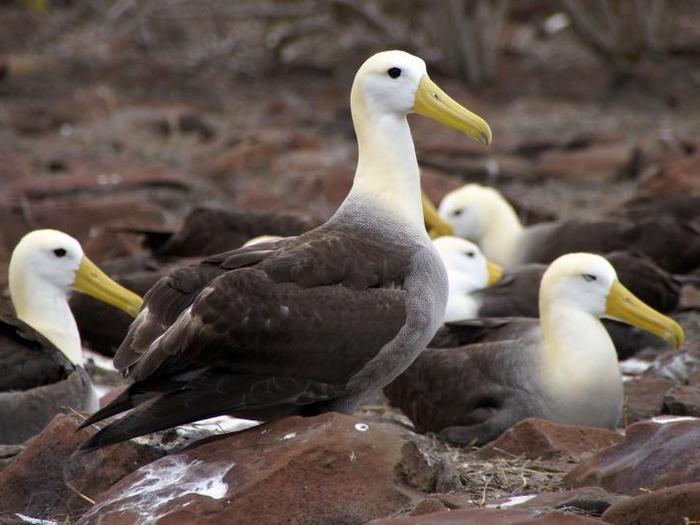 Голаппагосский альбатрос