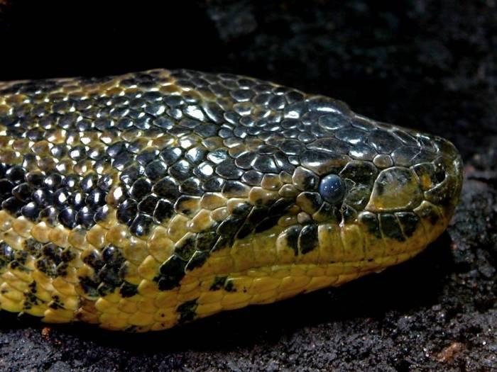 Голова анаконды