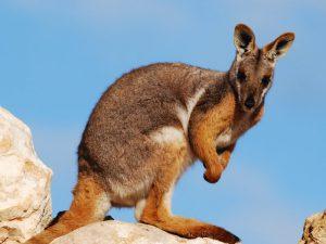 Горный кенгуру валлару